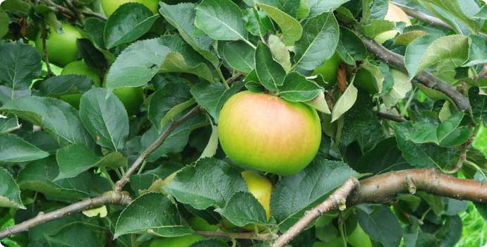 Bramley apples on a tree