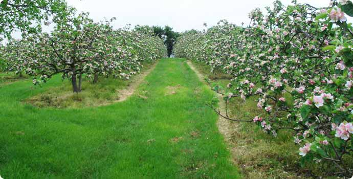 A view uphill between two rows of apple trees
